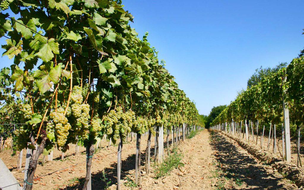 Kalazic valde därför att byta riktning i livet och köpte en liten stuga i Baranja. På de marker som ingick fanns 600 vinrankor. Det är med dem som historien om Kalazic Winery börjar.
